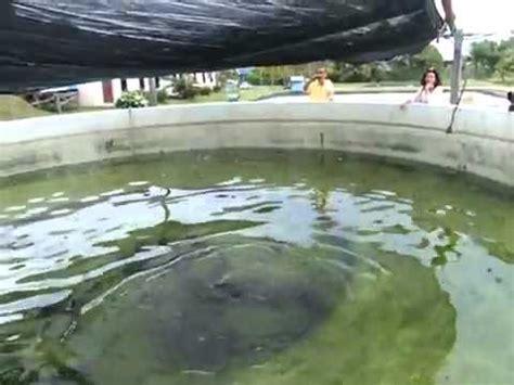 Pancing Engkel kerapu naga 69kg di kolam ls doovi