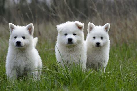 berger blanc suisse puppies berger blanc suisse puppies