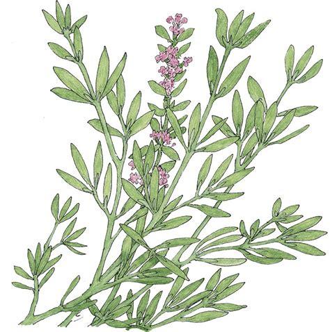 A Plant Disease - peaceful valley organic thyme seeds english 1 oz groworganic com