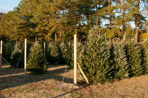christmas trees with farms for sale trees for sale at state farmers market south carolina department of agriculture