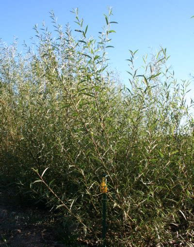 hybrid willow 6 foot