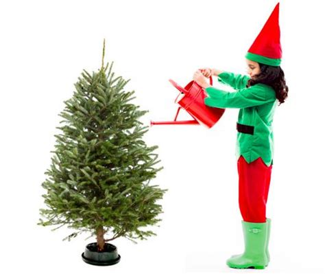 put sugar in xmas tree sugar water for trees lovetoknow