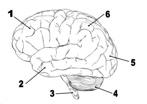 Brain Labeling Worksheet by Brain Diagram Without Labels Quotes