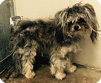 adoption orlando orlando fl maltese yorkie terrier mix meet a for adoption
