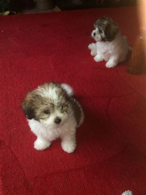 kyi leo puppies for sale kyi leo puppies rotherham south pets4homes