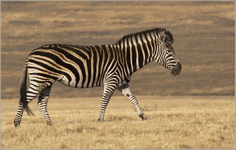 zebra pattern in spanish treknature zebra photo