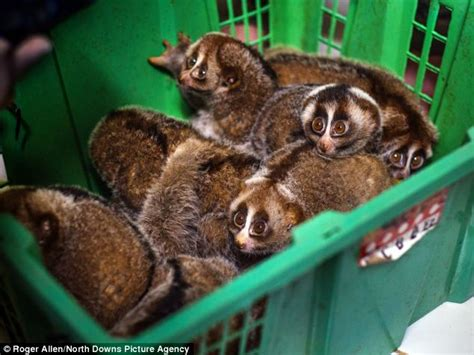 endangered slow loris pets  sold illegally