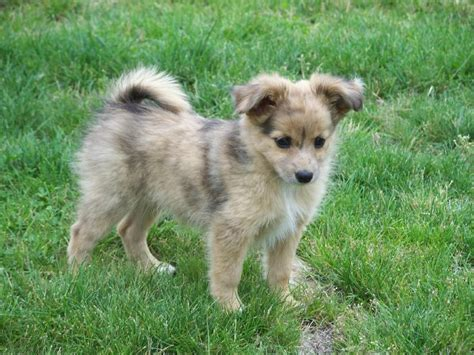 australian shepherd pomeranian mix puppies for sale mini australian shepard pom mix ahhh one of each miniature