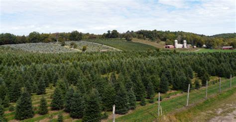 bell s christmas tree farm accord new york cut your