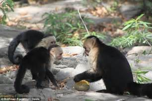 the inner of animals surprising observations of a world books capuchin monkeys learn to open fruit by observing others