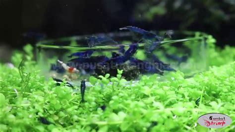 Udang Hias Aquascape Aura Blue Shrimp cantiknya udang hias blue blue shrimp pusat udang hias wa 089604096044
