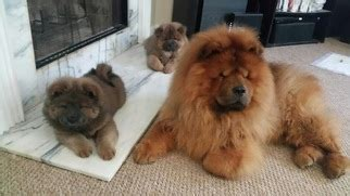 chow chow puppies for sale near me view ad chow chow puppy for sale decatur usa