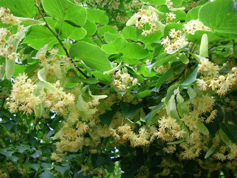 what does tree basswood or linden tree interesting facts and uses