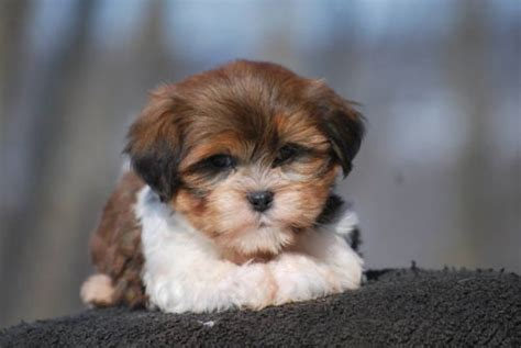 mini teddy puppies mini teddy bears non shed hypo allergenic i promise to take care of him or i