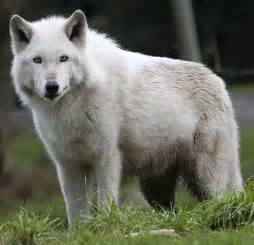 Gray wolf habitat for kids wolf facts for kids wolf habitat amp diet