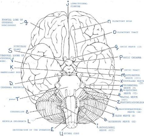 print layout view quizlet print exercise 19 gross anatomy of the brain and cranial
