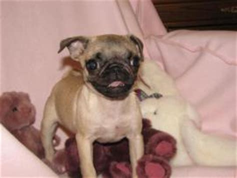 teacup pug information teacup pug information breeds picture