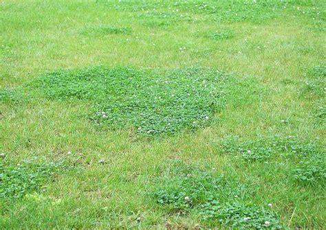 Klee Im Rasen Entfernen 4199 ronneburr 2009 07 klee im rasen durch trockenheit