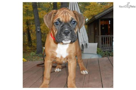 boxer puppies for sale in chicago meet autumn a boxer puppy for sale for 850 chicago boxer puppy xtra large size