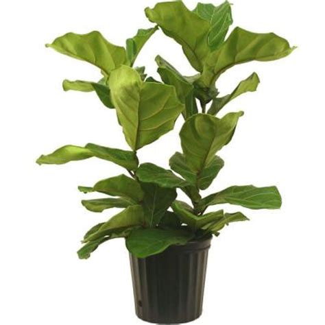 delray plants 8 3 4 in ficus pandurata bush in pot 10pan