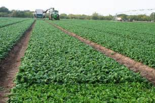 Fall And Winter Gardening - experts ashley variety strong spinach alternative for south central texas gardeners