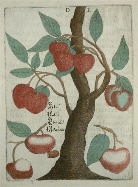 lychee fruit drawing flora sinensis