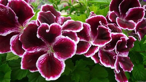 gerani fiori fiori gerani geranio gerani fiori giardino