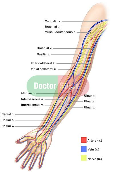 what color are arteries anatomy of the nerves arteries and veins of the arm