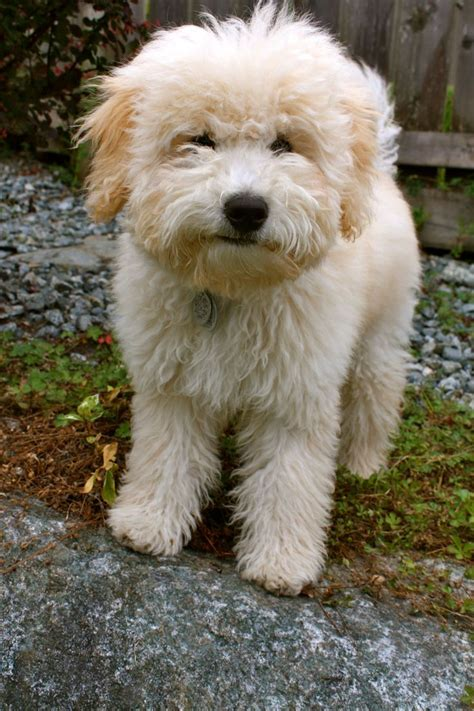 whoodle puppies wheaten terrier mix puppy breeds picture