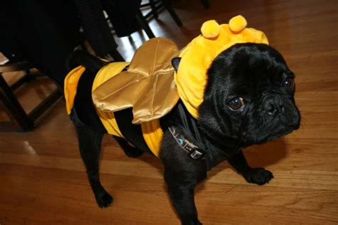 black pug costume this bumblebee costume is for black pugs photo 6903939 94261 houston chronicle