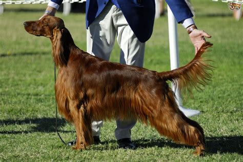 irish setter dog show irish setter dog breed information buying advice photos