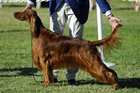 Irish Setter Dog Breed Information, Buying Advice, Photos ...