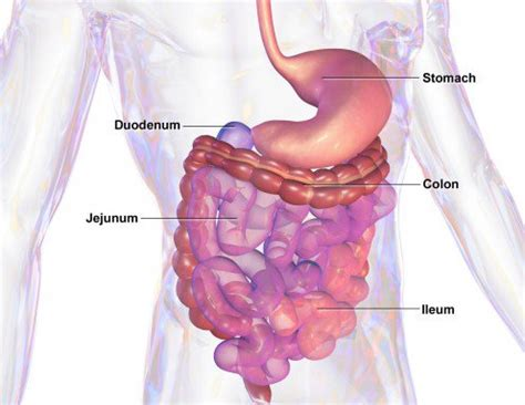 Three Sections Of Small Intestine by Digestive System Facts And Some Major Gi Tract Diseases