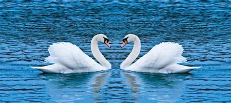 cuadros de cisnes cuadro en lienzo con bastidor cisnes corazon