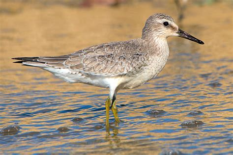 caribbean waterbird census reveals important sites for