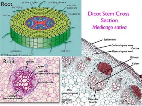 cross section biology plant stem anatomy