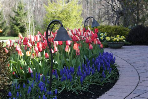 Longfield Gardens by Trending Thursday Muscari Inspiration Longfield Gardens