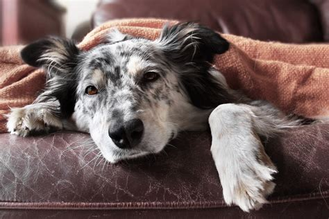 can dogs fevers symptoms of rocky mountain spotted fever in dogs