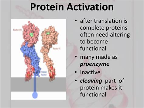 protein activation ppt regulation of gene expression powerpoint