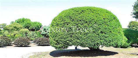 gartengestaltung pflanzen sichtschutz 187 luxurytrees 174 schweiz