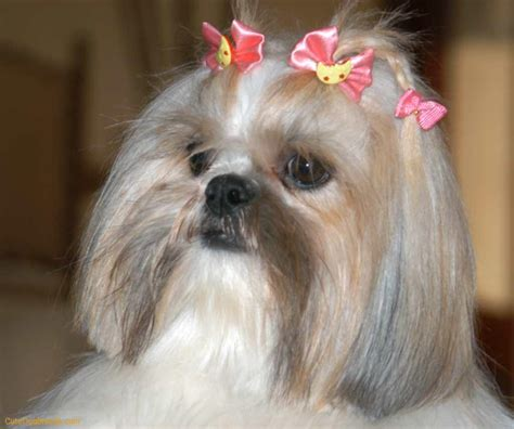 different types of shih tzu dogs shih tzu pictures of haircuts hairstyle gallery
