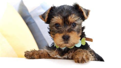 yorkie screensavers terrier im 225 genes y wallpapers de perros terrier