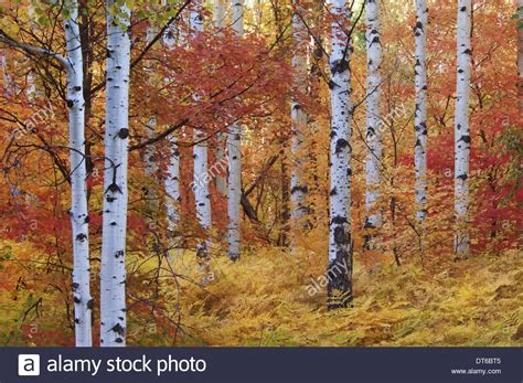 file autumn rocky mountain maple forest of the rocky mountain maple and quaking aspen tree