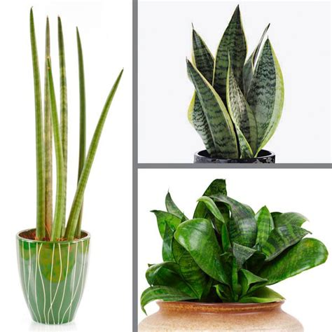 mother in law s tongue mother in law s tongue snake plant indoors sansevieria