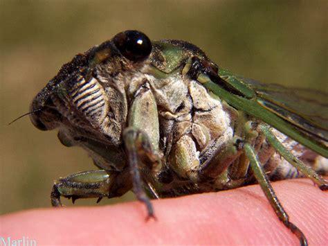 annual cicada tibicen linnei