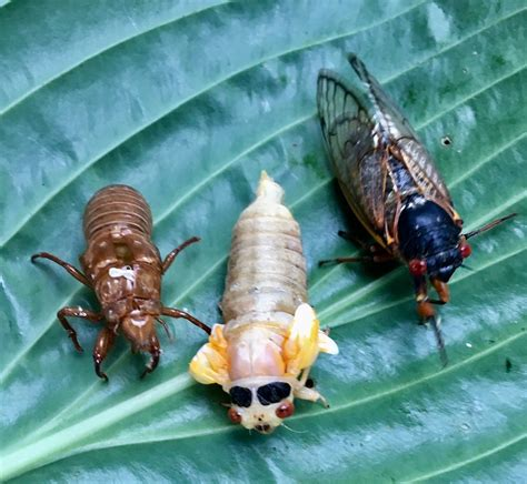 cicada control and treatments for the home yard and garden