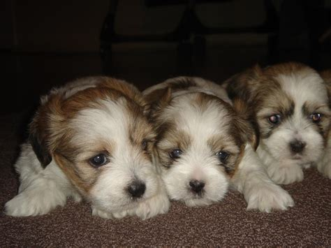 shih tzu puppies for sale nsw for sale maltese shih tzu puppies