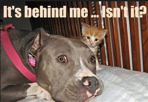 Bulls Memes - 10 funny pit bull memes petanimalguide com
