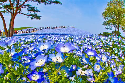 Baby Japan Blue gorgeous field of baby blue eye flowers in japan cube breaker