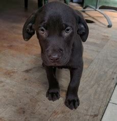 lab puppies for sale in indianapolis view ad listing puppy for sale adn 04867050005 indianapolis indiana usa